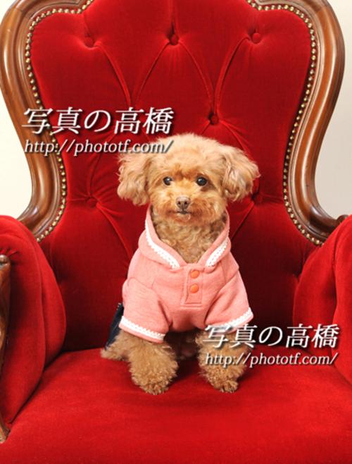 ピンクがよく似合うトイプードル