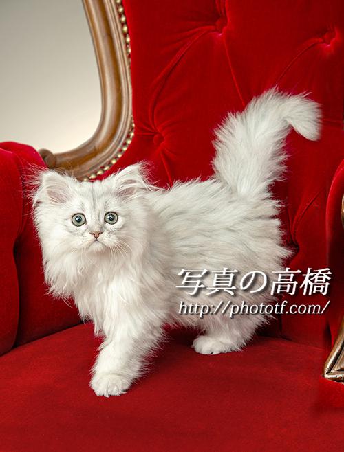 ペルシャ猫のショコビッチちゃん1