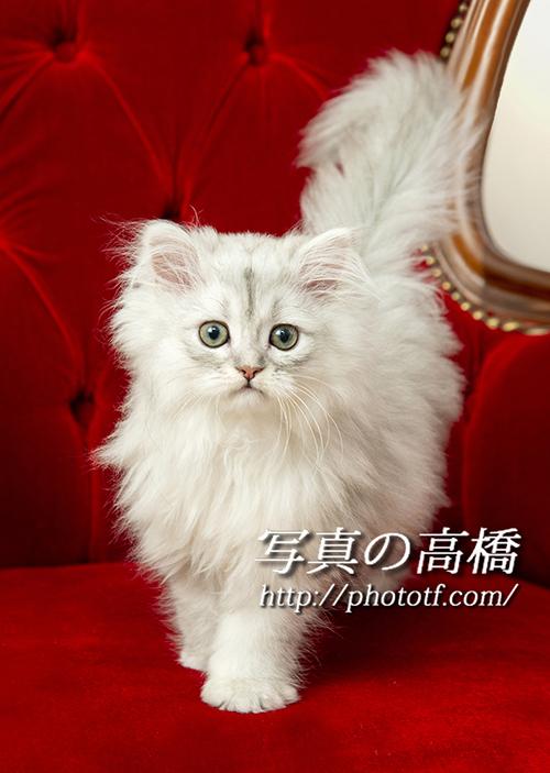 ペルシャ猫のショコビッチちゃん2